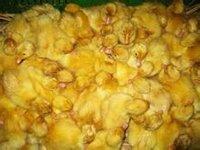 櫻桃谷肉鴨